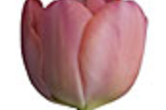 Tulips, Double-hot pink