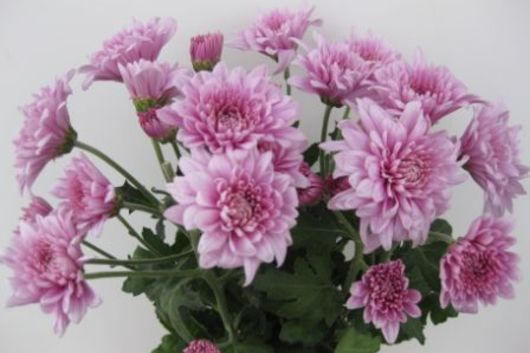 Spray Mums, Cushion-lavender