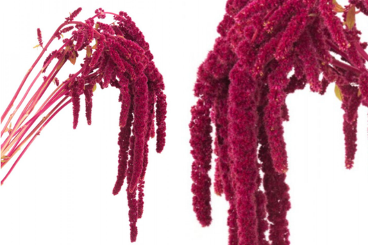 Amaranthus, Red