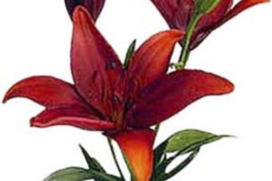 Asiatic Lily -red