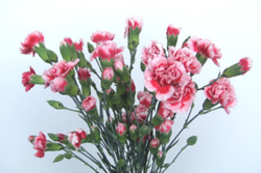 Mini Carnations-white/red variegated