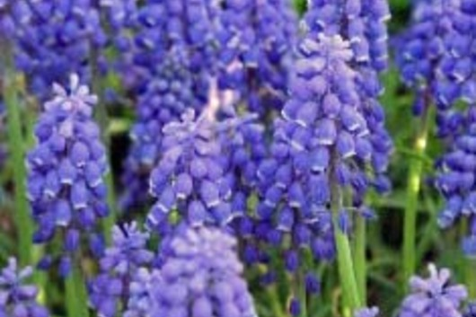Grape Hyacinth, Muscari-blue