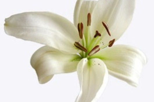 Asiatic Lily-white
