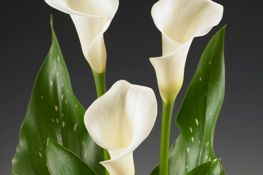 Callas,Mini WhiteIdeal-wht