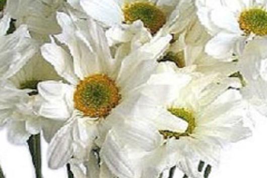 Spray mums daisy white flower floral expert dictionary spray mums daisy white mightylinksfo