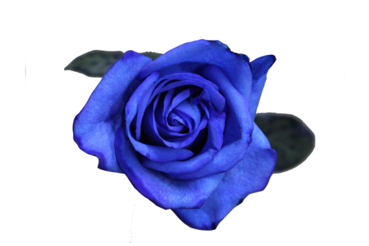 Rose, Tinted Blue