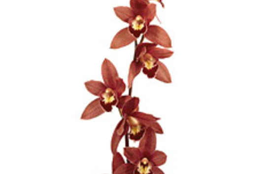Cymbidium Orchid Sprays, large-chocolate