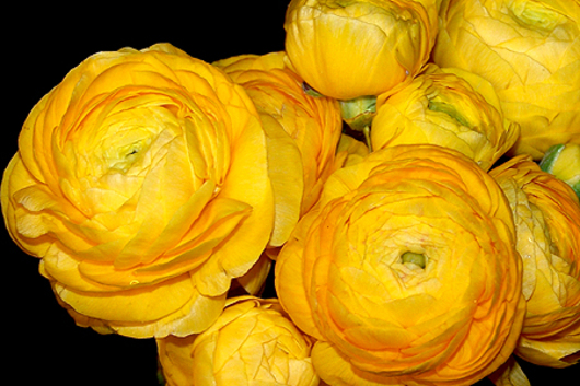 Ranunculus yellow flower floral expert dictionary ranunculus yellow mightylinksfo