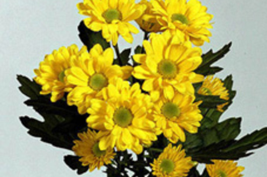 Spray mums micro daisy yellow flower floral expert dictionary spray mums micro daisy yellow mightylinksfo