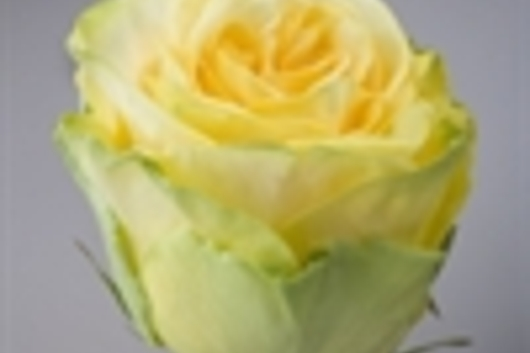 Roses, Finesse-yellow