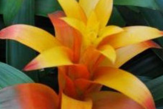 Bromeliad Torch-yellow