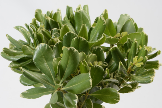 Pittosporum, Variegated