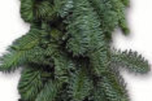 Garland, Noble Fir