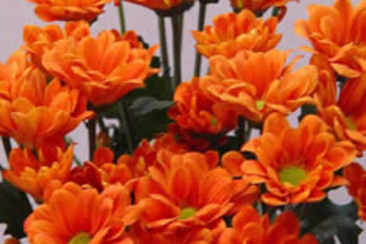 Spray Mums, Micro Daisy-orange
